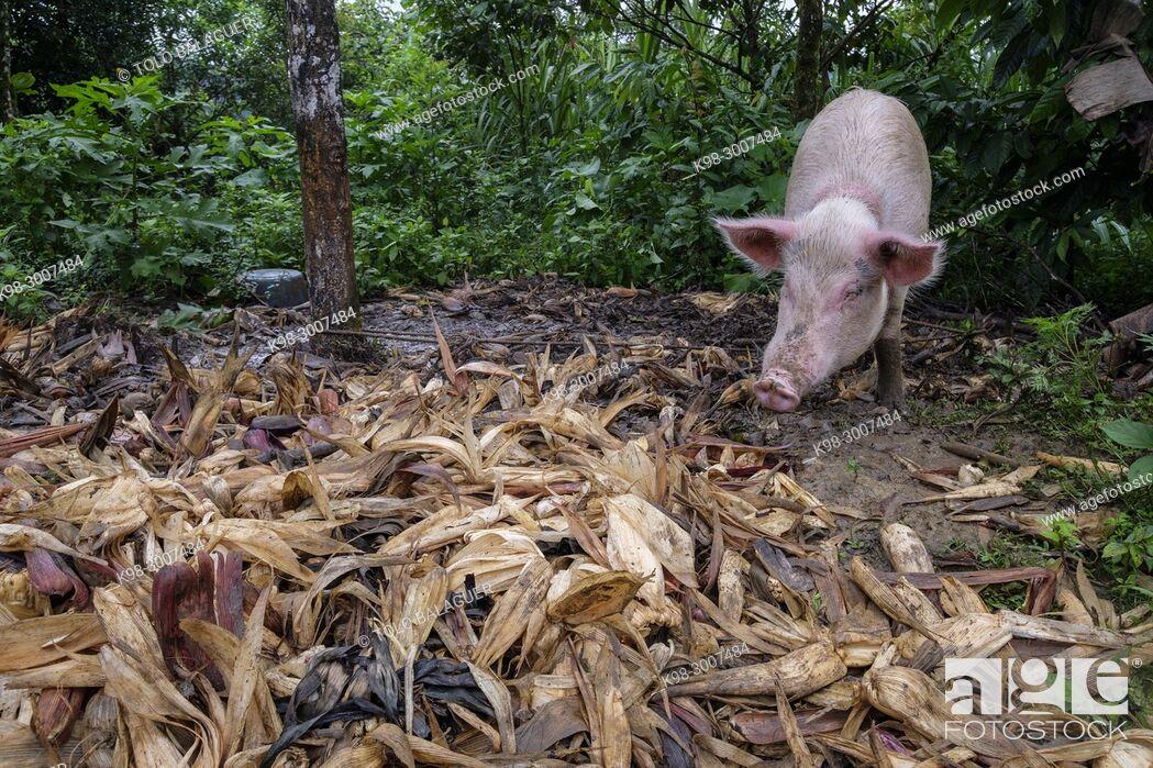 Stock Photo: cerdo, Tesoro Chiquito, La Taña, Franja Transversal del Norte , departamento de Quiché, Guatemala.