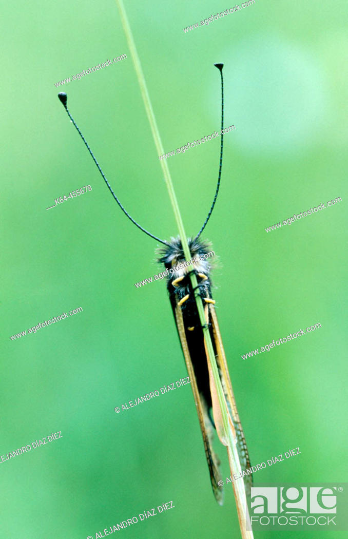 Stock Photo: Lacewing (Ascalaphus libelluloides). Cantabria, Spain.