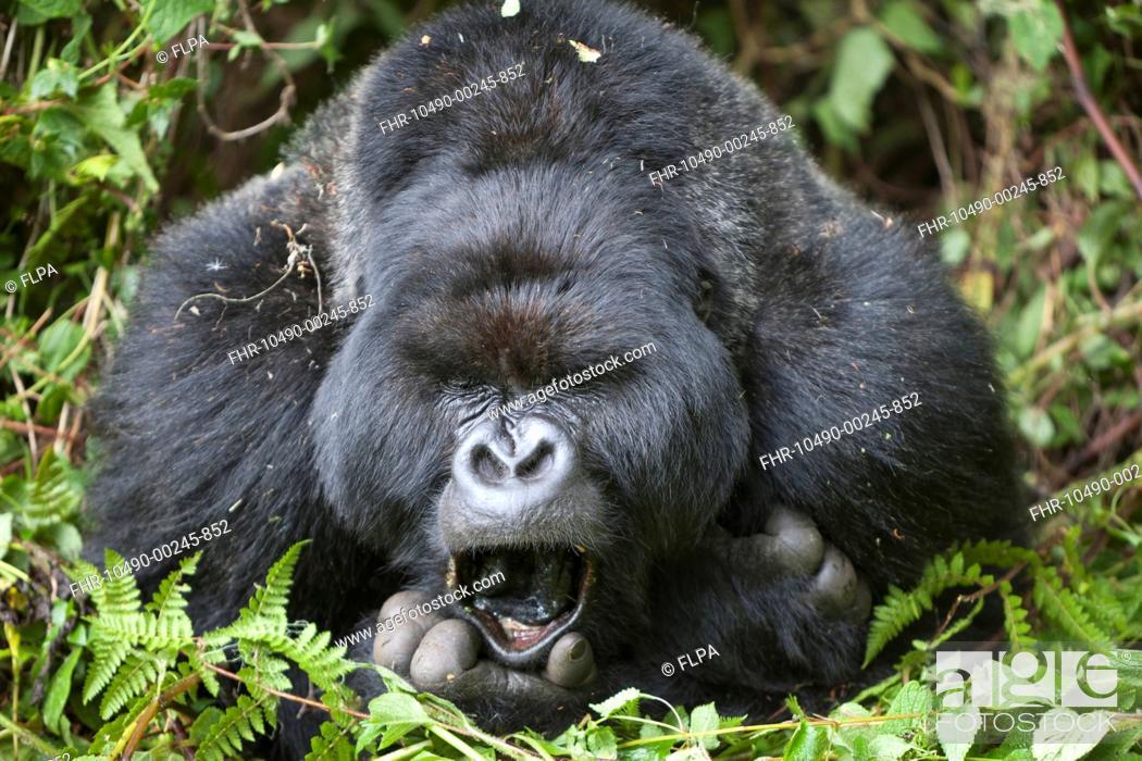 Stock Photo: Mountain Gorilla Gorilla beringei beringei silverback adult male, close-up of head and shoulders, yawning, resting in vegetation, Volcanoes N P.