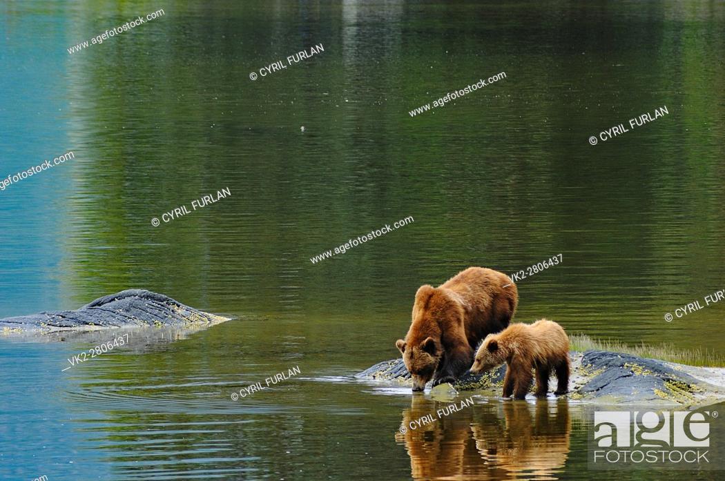 Stock Photo: Grizzly Drinking Water Wrangell Bear Preserve Alaska.