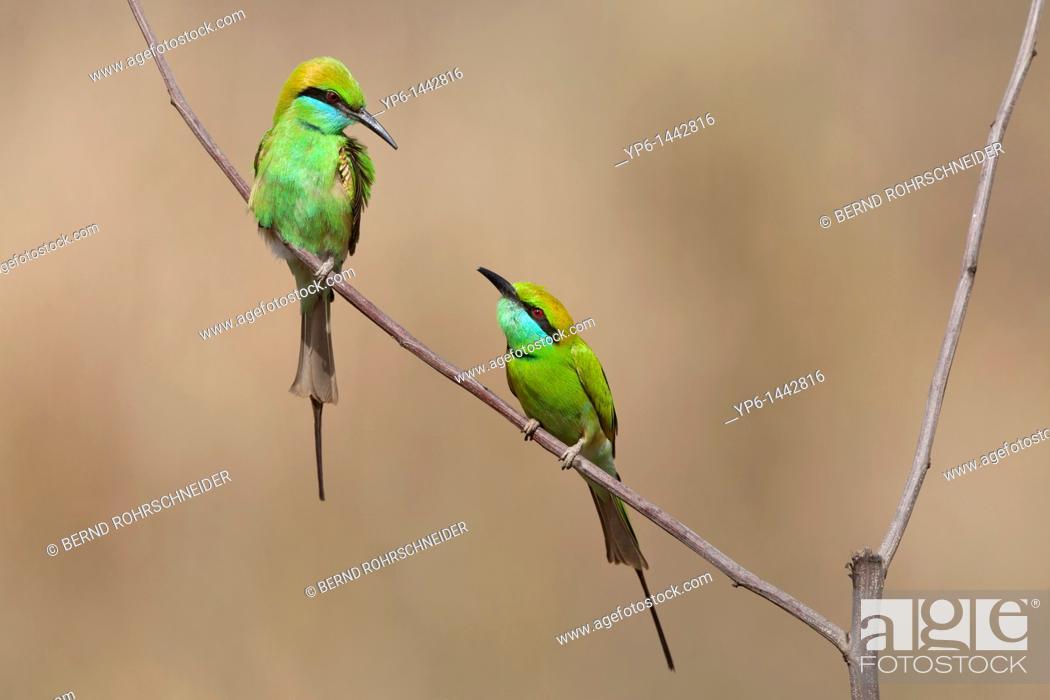 Stock Photo: Green Bee-eaters Merops orientalis sitting on twig, Kanha National Park, Madhya Pradesh, India.