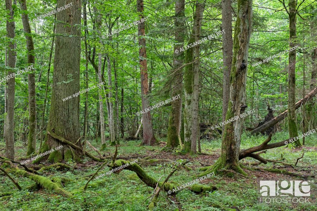 Stock Photo: Springtime deciduous primeval stand with old oak trees in background, Bialowieza Forest, Poland, Europe.