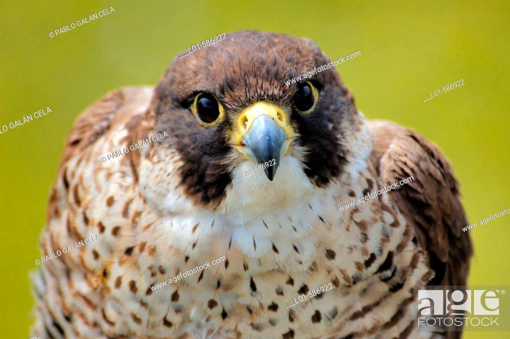 Stock Photo: Peregrine falcon (Falco peregrinus).