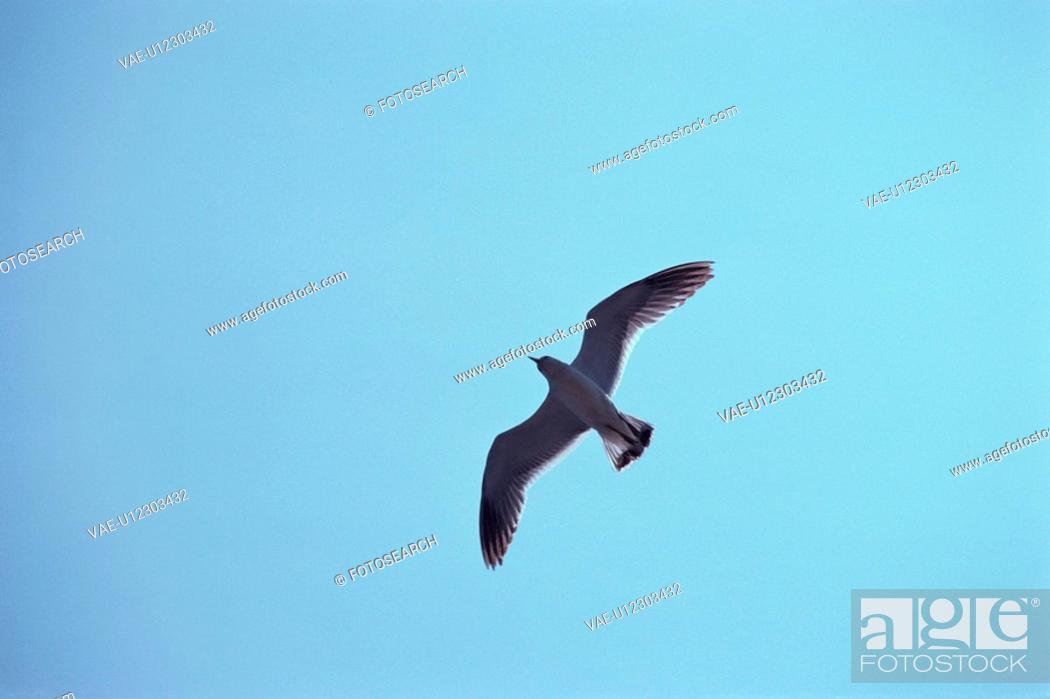 Stock Photo: Flying Herring Gull.