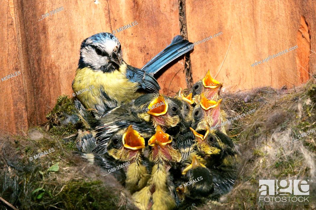 Stock Photo: Blue Tit (Parus caeruleus).