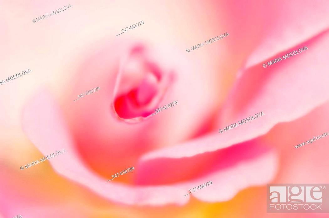 Stock Photo: Pink Rose Close-up. Rosa hybrid. May 2007, Maryland, USA.