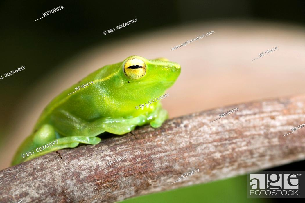 Stock Photo: Green Tree Frog - Napo Wildlife Center - Yasuni National Park, Napo Province, Ecuador.