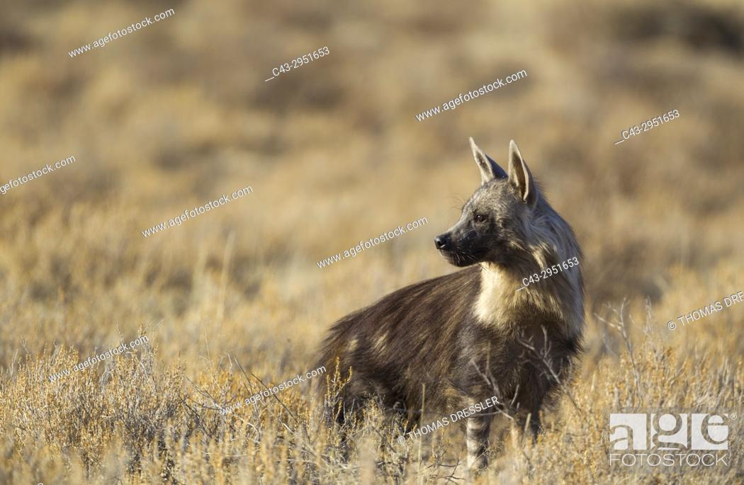 Stock Photo: Brown Hyaena (Hyaena brunnea). Kalahari Desert, Kgalagadi Transfrontier Park, South Africa.