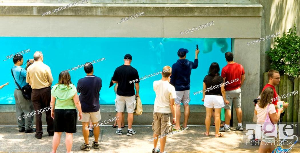Stock Photo: Underwater Window of the Polar Bear tank with visitors watching the animals swim  Lincoln Park Zoo, Chicago, Illinois, USA.