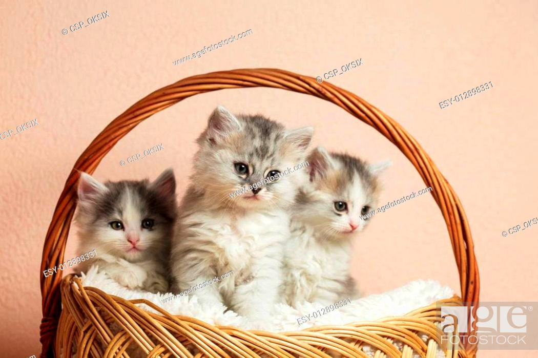 Three Grey Kittens Stock Photo Picture And Low Budget Royalty Free Image Pic Esy 012898331 Agefotostock