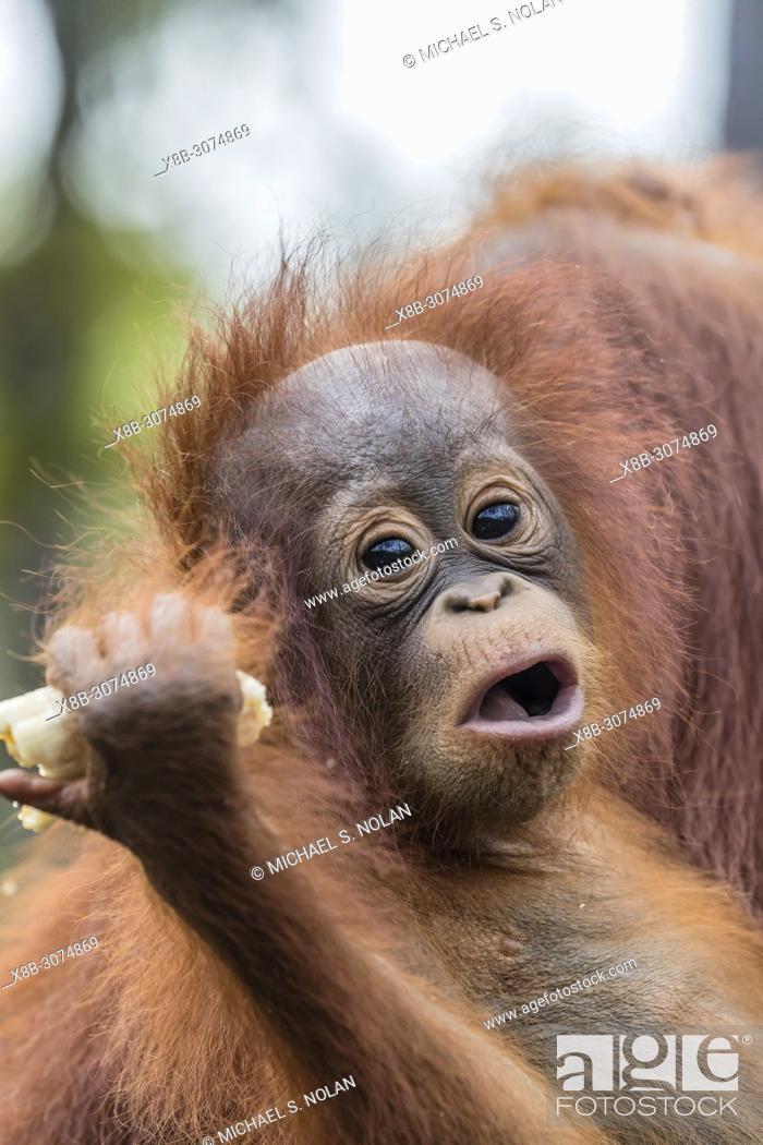 Stock Photo: Mother and baby Bornean orangutans, Pongo pygmaeus, Buluh Kecil River, Borneo, Indonesia.