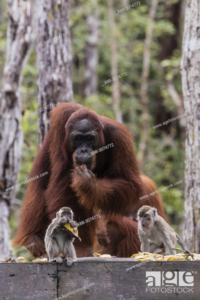 Stock Photo: Long-tailed macaques, Macaca fascicularis, with orangutans, Pongo pygmaeus, Borneo, Indonesia.