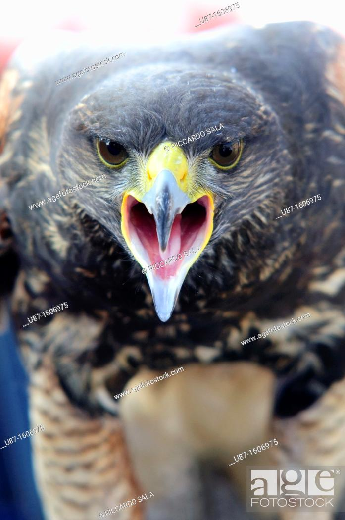 Stock Photo: Harris Hawk, Parabuteo unicinctus, in Captivity.