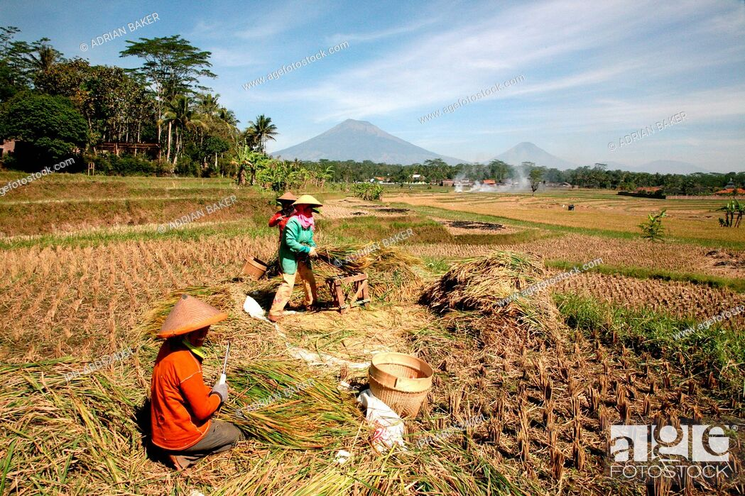 Imagen: Indonesia Central Java Magelang The rice harvest on the plains between the many volcanoes of the area.