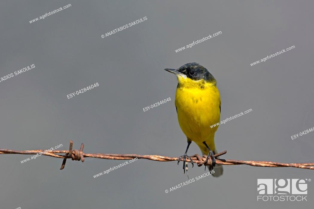 Photo de stock: Yellow Wagtail - Motacilla flava feldegg, Crete.