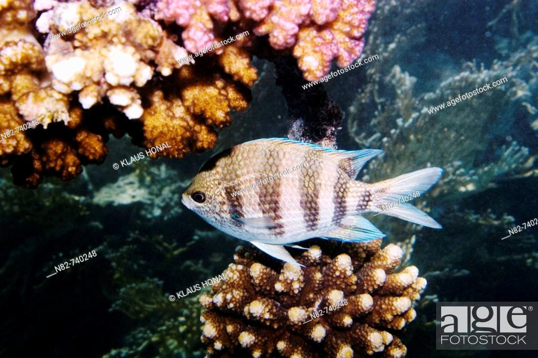 Stock Photo: Scissortail Sergeant Abudefduf sexfasciatus swimming between the corals in Red Sea - Near Marsa Alam / Egypt.