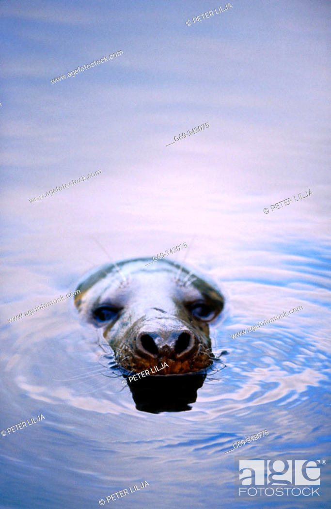 Stock Photo: Grey Seal (Halichoerus grypus) in the water. Lycksele, Västerbotten, Sweden.