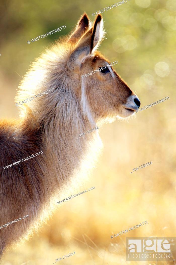 Stock Photo: Waterbuck Kobus ellipsiprymnus, Kruger National Park, South Africa.
