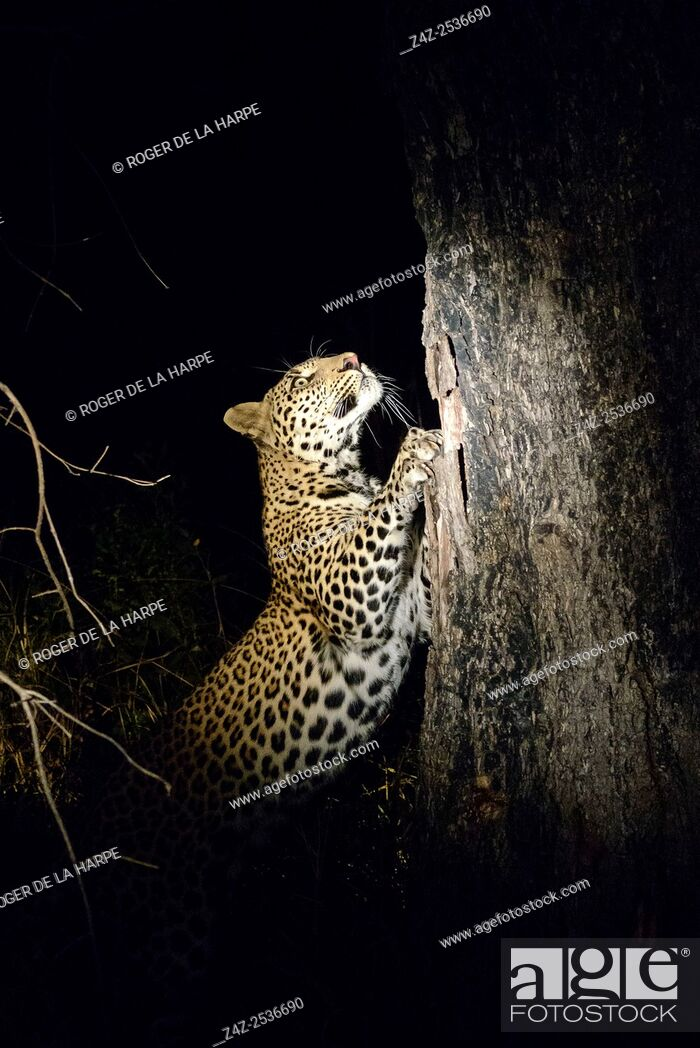 Imagen: Leopard (Panthera pardus) sharpening its claws on a tree. Kruger National Park. Mpumalanga. South Africa.