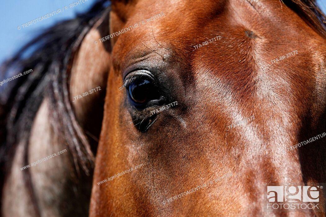 Imagen: Quarter Horse eye.