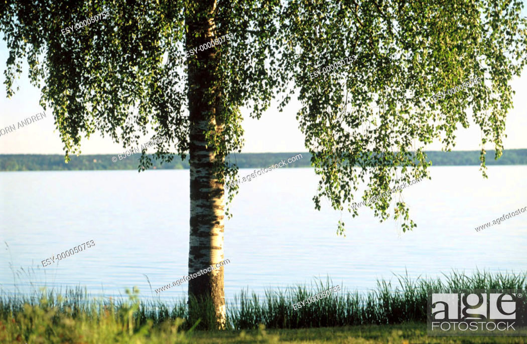 Stock Photo: Birch tree and lake.