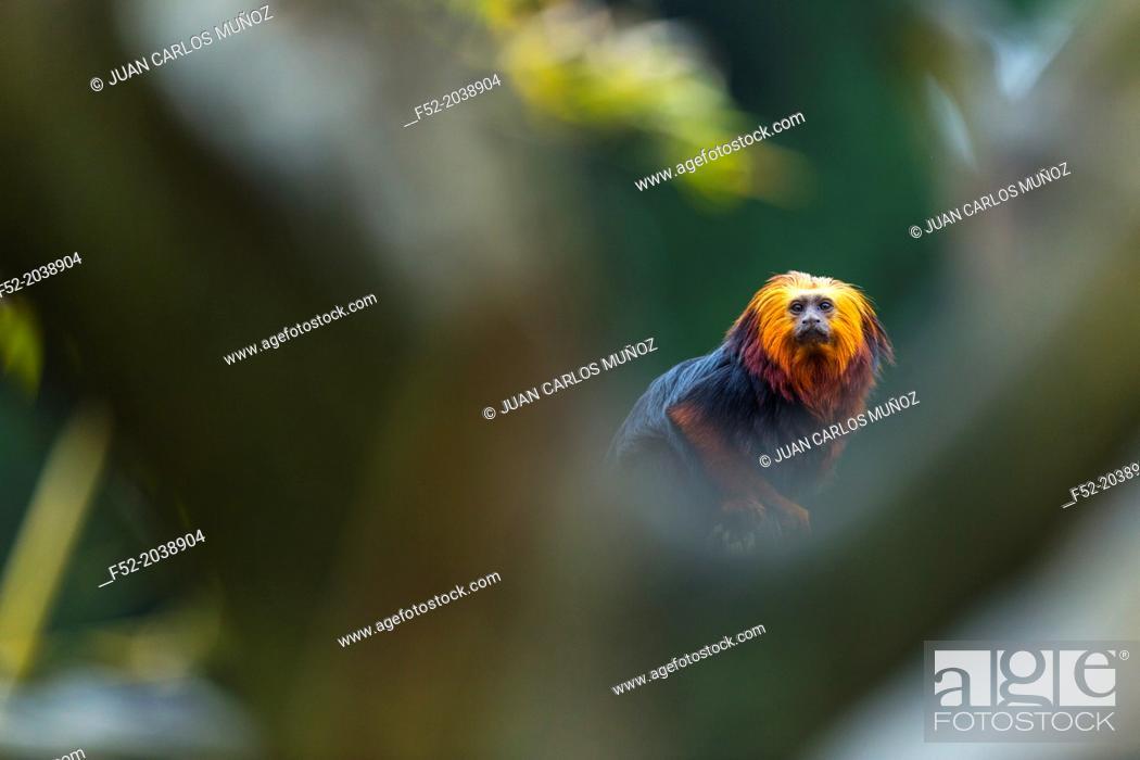 Stock Photo: Netherlands, Apenheul, Golden-headed lion tamarin ( Leontopithecus chrysomelas).