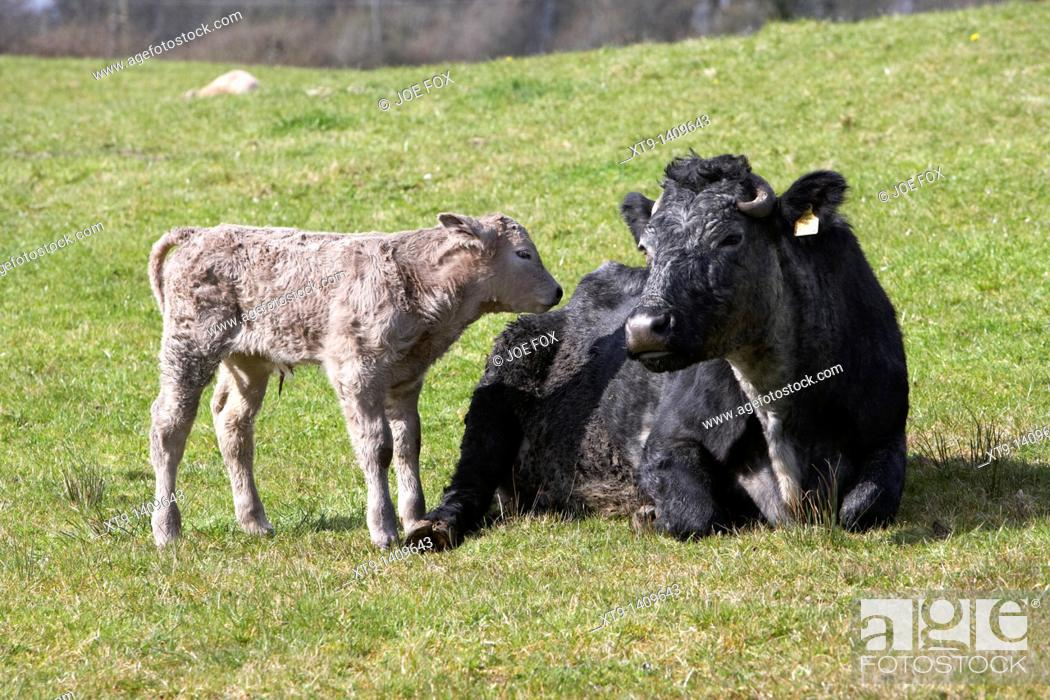 Stock Photo: cow and newborn calf in a field in ireland.