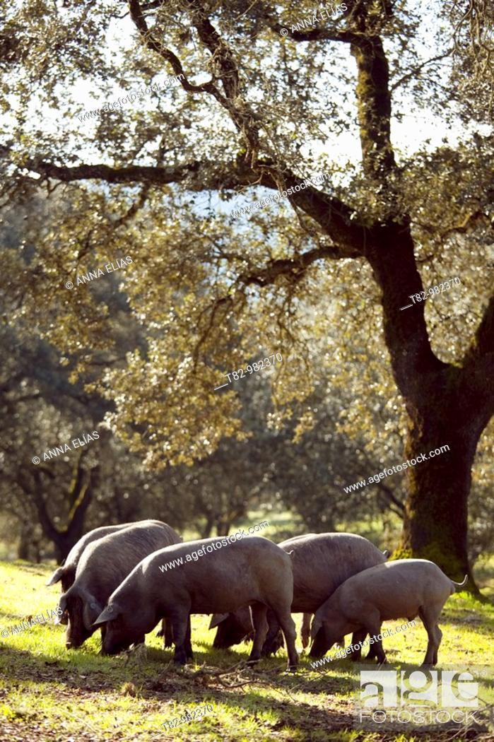 Stock Photo: pata negra pigs in a pig farm pig ecological Jabugo in Huelva, Andalucia, Spain,cerdos de pata negra en una granja porcina ecologica de cerdo de Jabugo en.