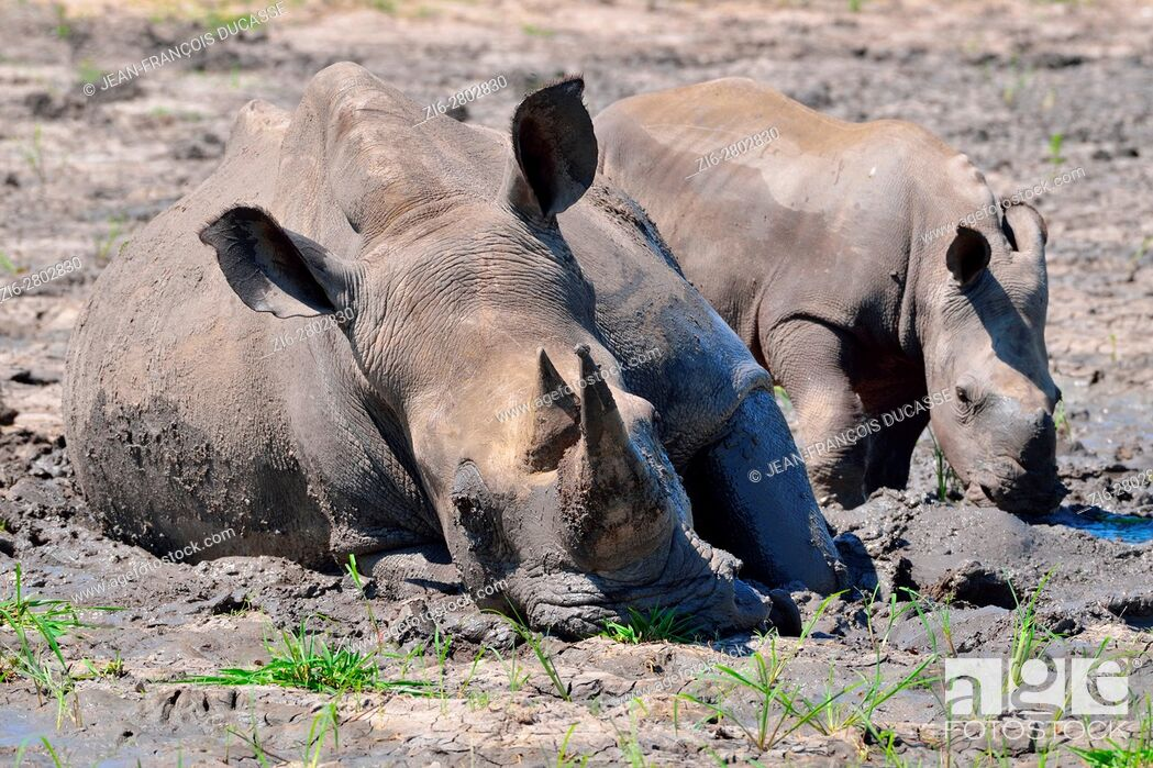 Stock Photo: White rhinoceroses or Square-lipped rhinoceroses (Ceratotherium simum), mother with calf, in the mud, Kruger National Park, South Africa, Africa.
