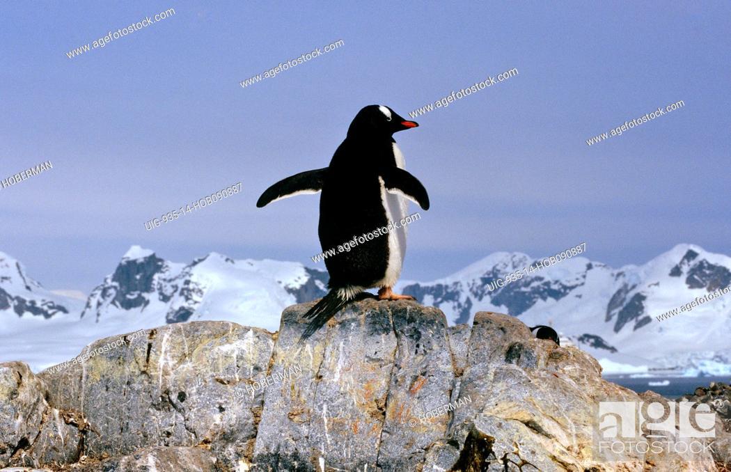 Imagen: Rockhopper Penguin.