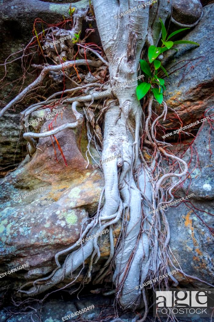 Stock Photo: Old roots on a rock close-up view.
