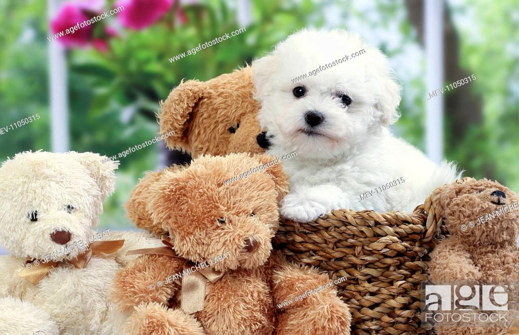 Dog Bichon Frise puppy with teddy bears, Stock Photo