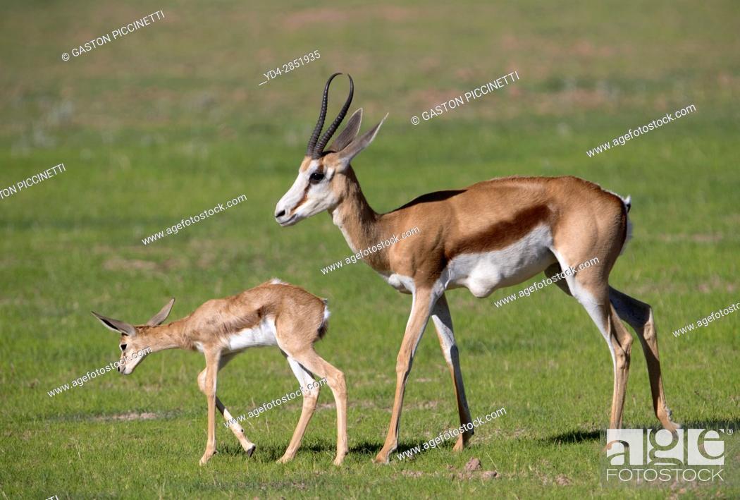 Stock Photo: Springbok (Antidorcas marsupialis) - Mother and lamb, Kgalagadi Transfrontier Park in rainy season, Kalhari Desert, South Africa/Botswana.