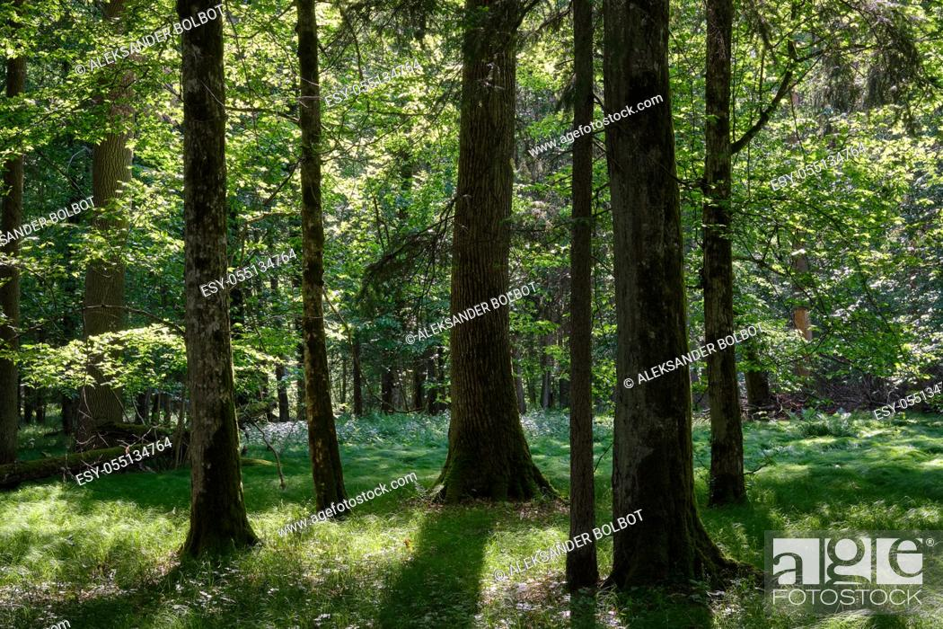 Stock Photo: Group of old trees in forest against afternoon light, Bialowieza Forest, Poland, Europe.