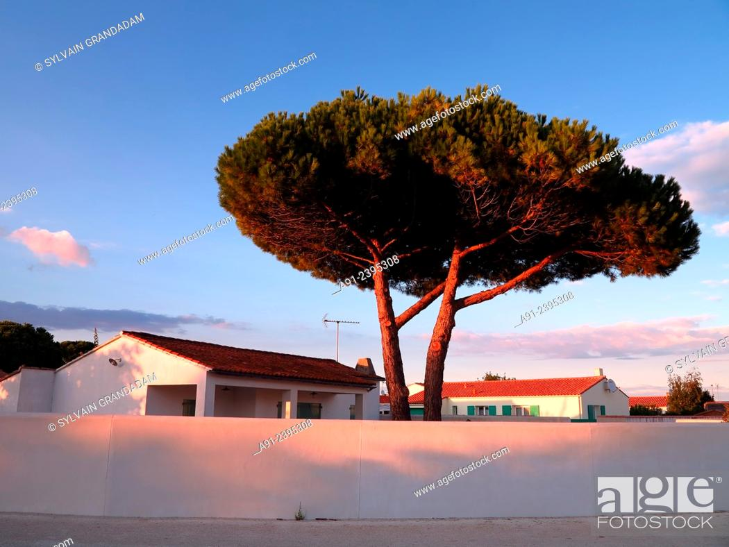 Stock Photo: France, Poitou-Charente region, Charente maritime departement (17), Re island (Ile de Re), typical local house and pine tree.