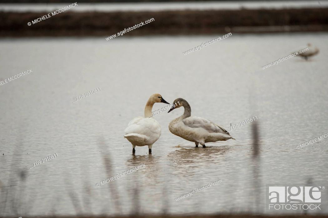 Stock Photo: Tundra swans layover in Northern California during the winter migration.
