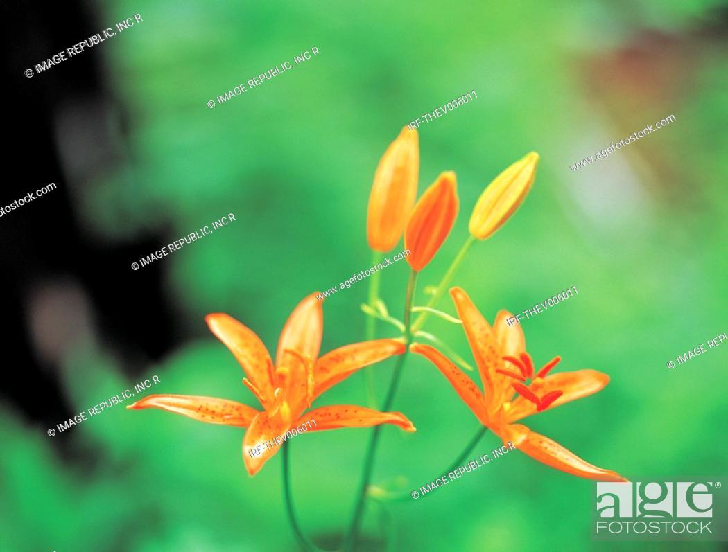 Stock Photo: flower, Lilium concolor var partheneion.