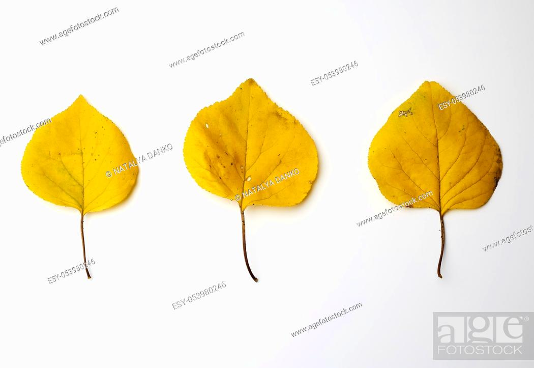 Stock Photo: three yellow dried apricot leaves on a white background, autumn backdrop.