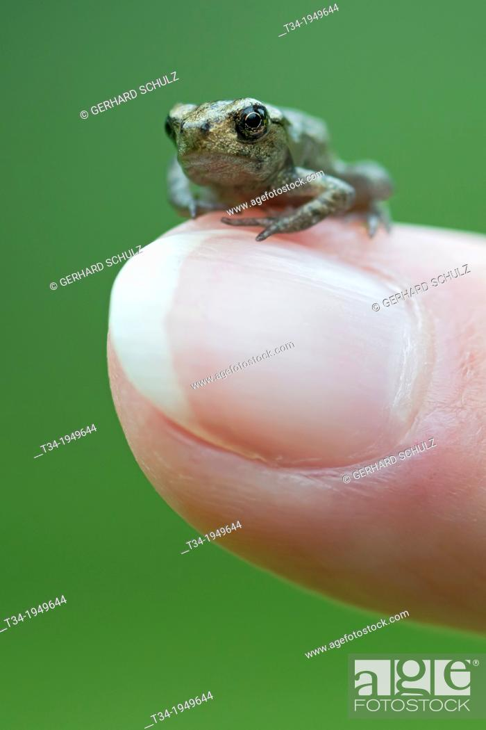 Stock Photo: Young Common Toad, Bufo bufo, Studio Shot, Germany.