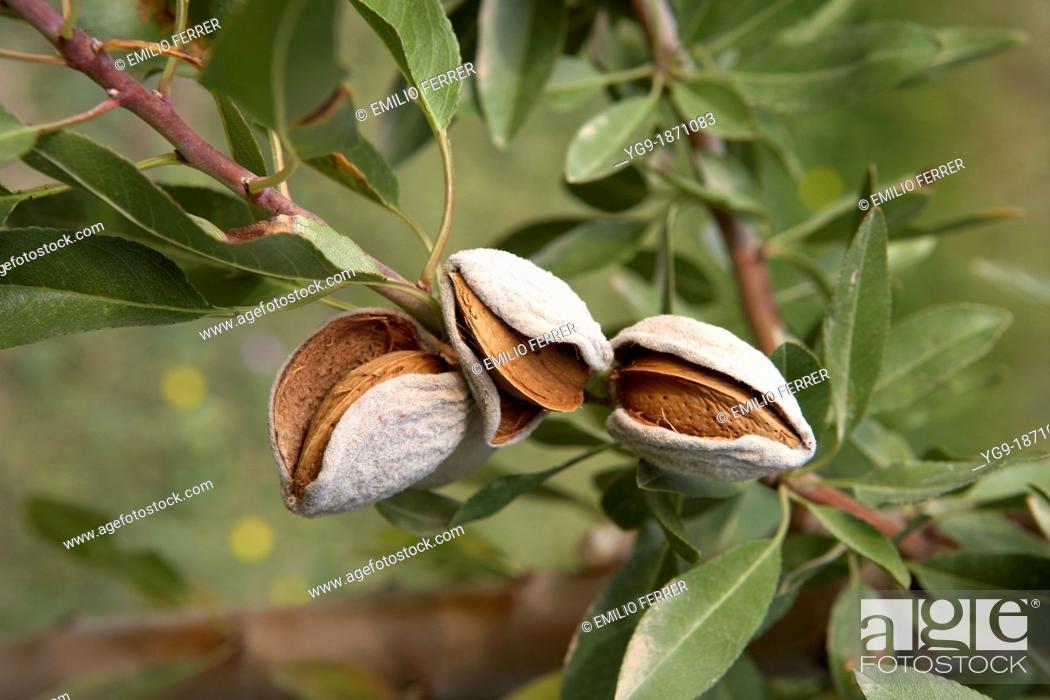 Stock Photo: Almonds on an almond-tree  LLeida  Spain.