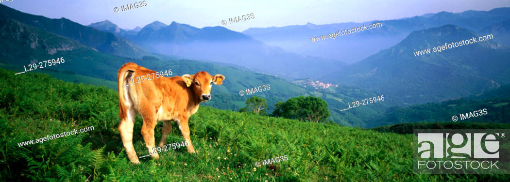 Imagen: Asturiana de los Valles Calf. Collada de Arnico Depression. Redes Natural Park and Biosphere Reserve. Asturias. Spain.