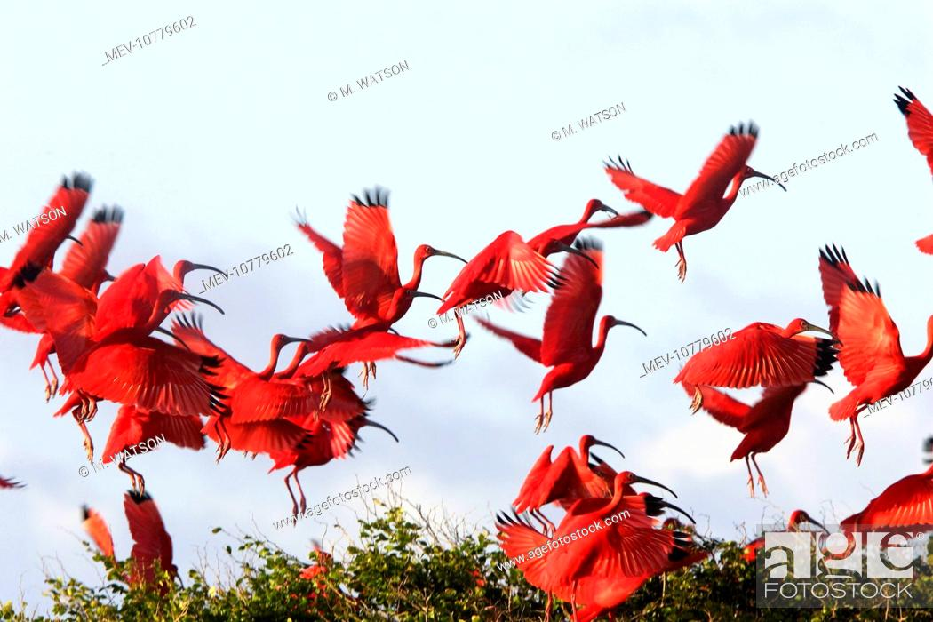 Stock Photo: Scarlet Ibis - flock taking off. (Eudocimus ruber).
