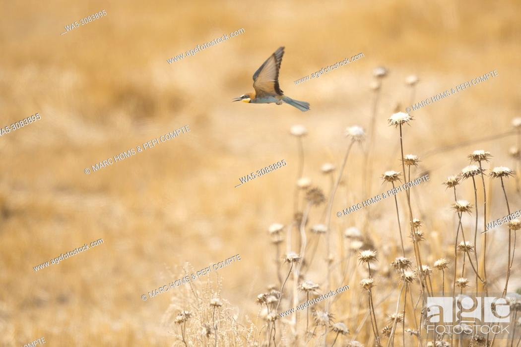 Stock Photo: European Bee Eater starting fly on a yellow field in Garrotxa, Catalonia, Spain.