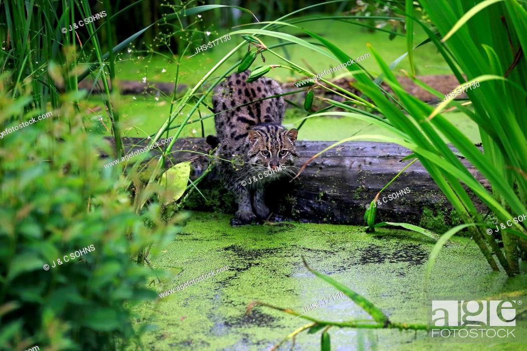 Stock Photo: Fishing Cat, (Prionailurus viverrinus), adult hunting at water, Asia.