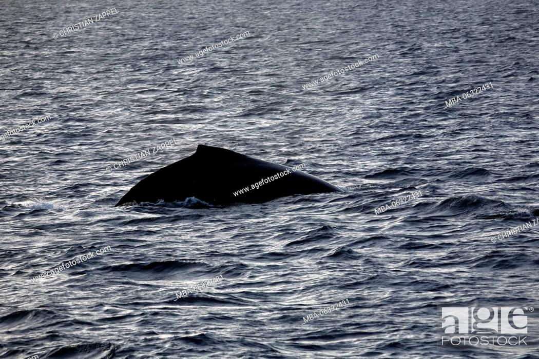 Stock Photo: Humpback Whale, Megaptera novaeangliae, Silverbanks, Caribbean, Dominican Republic, Central America.