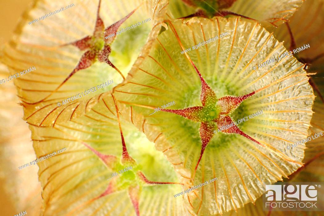 Stock Photo: Scabiosa cretica fruits.