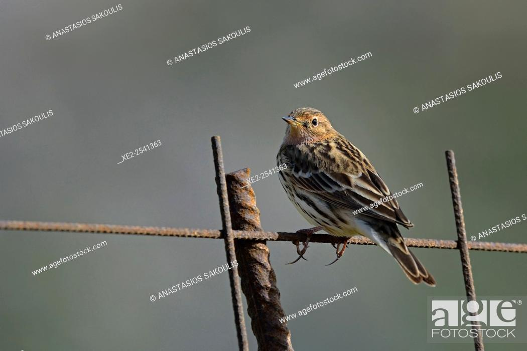 Stock Photo: Red-throated Pipit - Anthus cervinus, Crete.
