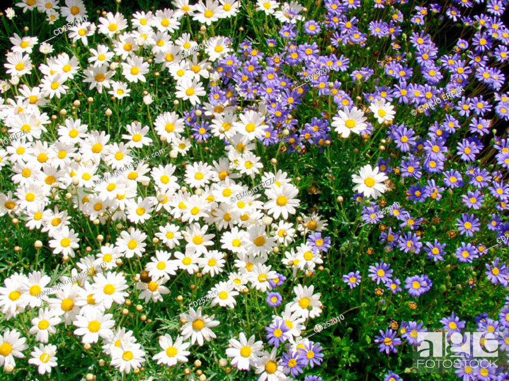Stock Photo: Daisies (Leucanthemum sp.) and Felicia amelloides.