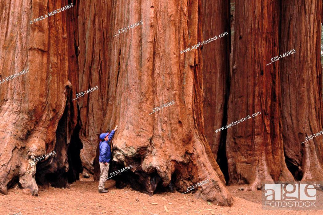 Stock Photo: Hiker touching Big Tree (Sequoiadendron giganteum). Parker Grove. Sequoia National Park. California. USA.