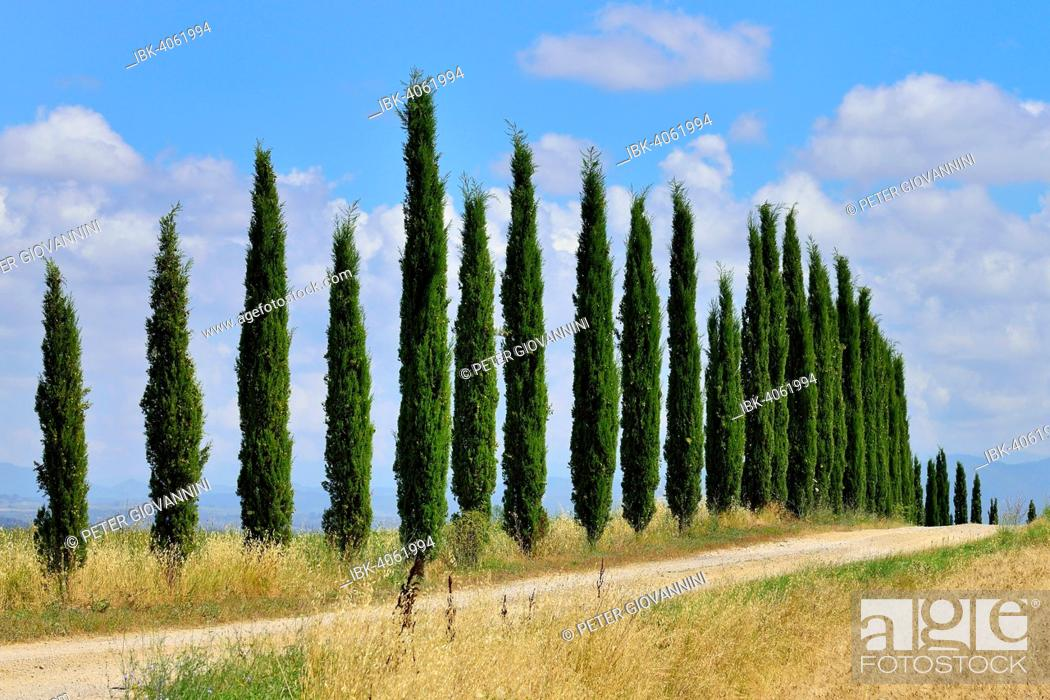 Stock Photo: Dirt track with a cypress avenue, near Murlo, Province of Siena, Tuscany, Italy.